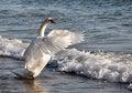 Free Dancing Swan Stock Image - 28954491
