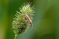Free Plantbug Royalty Free Stock Image - 28957516