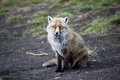Free Fox Stock Photos - 28957743