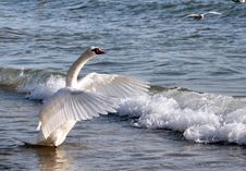 Free Dancing Swan Stock Photos - 28951773