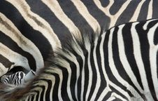 Free Zebra Foal And Mare Close Up Stock Photography - 28953182