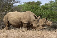 White Rhino Cow And Calf Stock Photography