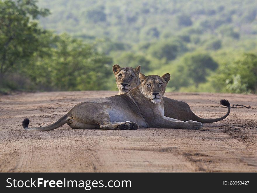 Lioness pair front view symmetrical