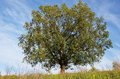 Free Oak Tree Stock Image - 28970871