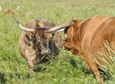Free Scottish Highland Cow And Bull Stock Photos - 28975933