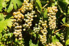 Free Grape Royalty Free Stock Image - 28975976