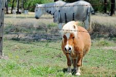 Free Miniature Pony With Full Standard Size Pony In Paddock Stock Photos - 28977723