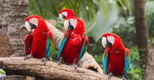 Free Scarlet Macaw Royalty Free Stock Images - 28981099