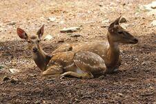 Free Deers Stock Image - 28986111