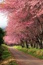Free Sakura Pink Flower In, Thailand, Cherry Blossom Royalty Free Stock Photos - 28991038