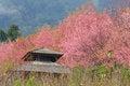 Free Sakura Pink Flower In, Thailand, Cherry Blossom Stock Photography - 28991122