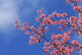 Free Sakura Pink Flower In, Thailand, Cherry Blossom Royalty Free Stock Photo - 28991355