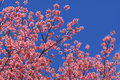 Free Sakura Pink Flower In, Thailand, Cherry Blossom Royalty Free Stock Photography - 28991637
