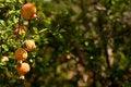 Free Pomegranates Royalty Free Stock Photo - 28996125