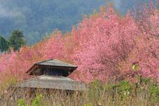 Free Sakura Pink Flower In, Thailand, Cherry Blossom Stock Photography - 28991122