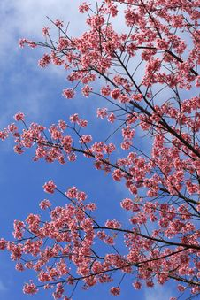 Free Sakura Pink Flower In, Thailand, Cherry Blossom Royalty Free Stock Photography - 28991317