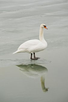 Free Swan On Frozen Water Stock Images - 28992434