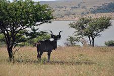 Free Male Kudu Resting Royalty Free Stock Image - 28993116