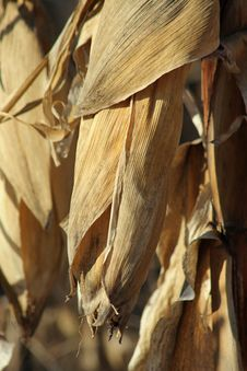 Free Corn In Husk Royalty Free Stock Images - 290079