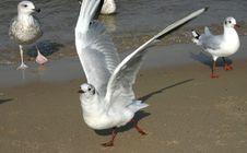 Free Seagulls 3 Stock Image - 290381