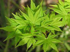 Free Maple Leaves Stock Photo - 290820