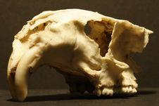 Marmot Skull Royalty Free Stock Photography