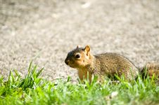 Free Baby Squirrel Close Up Stock Photos - 291593