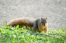 Free Baby Squirrel Looking In The Camera Royalty Free Stock Photography - 291597