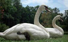 Free Two Swans Royalty Free Stock Photo - 292195