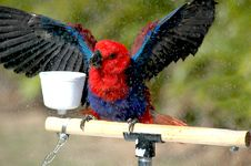 Free Eclectus Parrot Royalty Free Stock Image - 292546