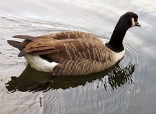 Free Goose Royalty Free Stock Photography - 295757
