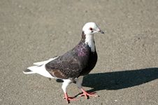 Free Pigeon 3 Royalty Free Stock Photos - 296098