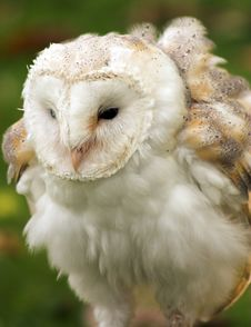 Free Barn Owl Royalty Free Stock Photography - 296177