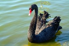 Free Alone Black Swan Stock Photos - 296603