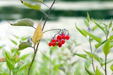 Free Red Berry Royalty Free Stock Photos - 297078