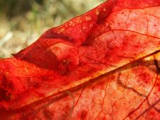 Free Red Leaf Stock Photography - 298812