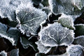 Free Frosted Ivy Leaves Stock Photography - 2901922