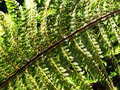 Free Green Fern Royalty Free Stock Photo - 2904585