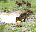 Free Drinking Duckling Royalty Free Stock Photos - 2906218