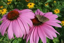 Free Purple Daisies With Moth Stock Images - 2900184