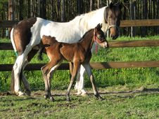 Free Friesian Sport Horse Foal 3 Royalty Free Stock Photos - 2900288