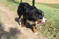 Free Bernese Mountain Dog Stock Images - 2901604