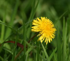 Free Yellow Dandelion Flower Photo Stock Images - 2901824