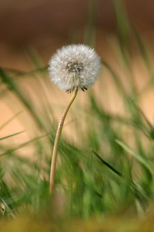 Free Photo Of A Dandelion Flower Stock Photos - 2901863