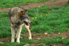 Free Wolf Photo (Canis Lupus) Stock Photo - 2901880