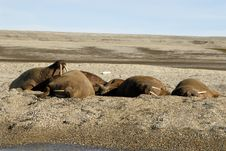Free Walruses Stock Photo - 2902800