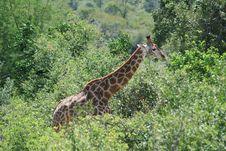 Free Giraffe Stock Photography - 2903022