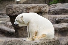 Free Polar Bear 2 Royalty Free Stock Photos - 2903438
