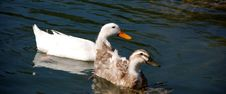 Free Couple Of Ducks Stock Image - 2904031