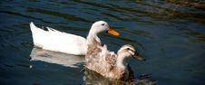 Free Couple Of Ducks Stock Image - 2904031